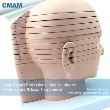 12398 / Horizontal Cutting Anatomy Model of Head and CTMRI Brain,  Brain Head X-RAY Section