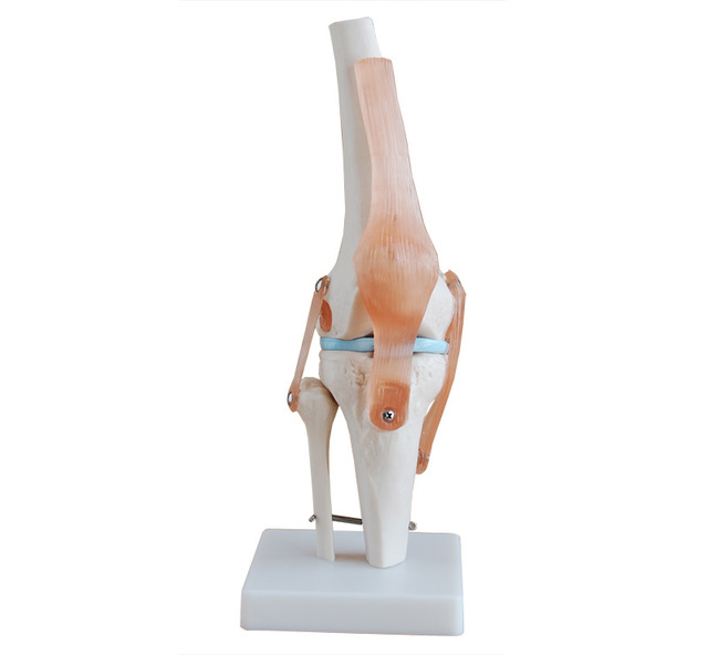 compare prices on human knee- online shopping/buy low price human, Skeleton