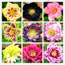 Novelty Plant,Hellebore (Christmas Rose)Helleborus niger flower seed,bonsai flower plant forr home courtyard 100PCS(China)