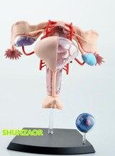 4D vrouwelijke baarmoeder model biomedische onderwijs anatomisch model assemblage met 19 onderdelen