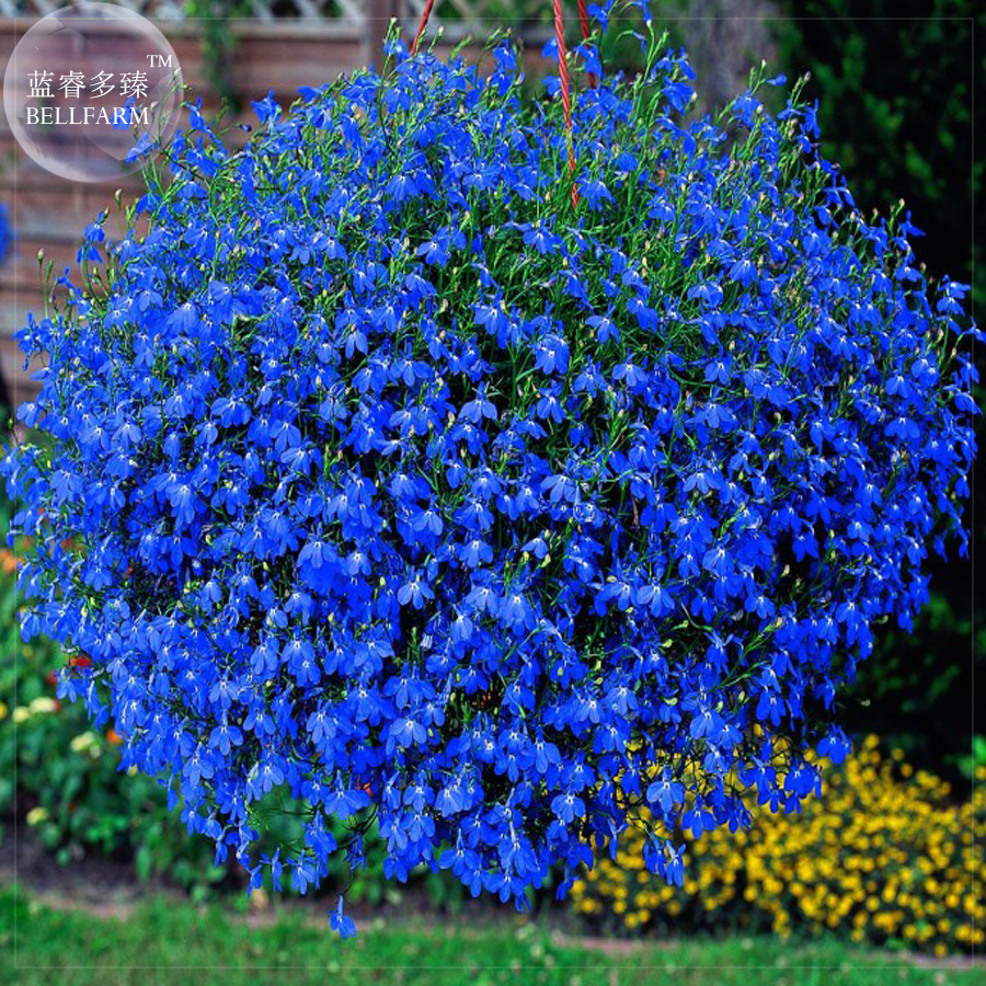 BELLFARM font b Lobelia b font font b Blue b font Hanging Bonsai Flower Seeds 200