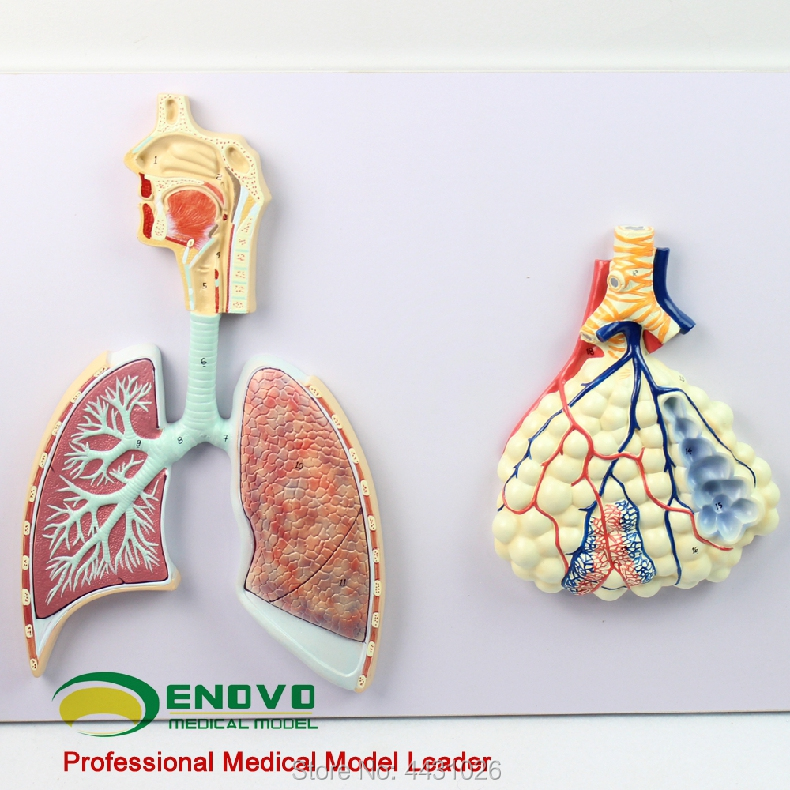ENOVO Human respiratory system anatomical model specimen of human lung section of the nasal bronchial lung model skin block model skin section model human skin anatomical model