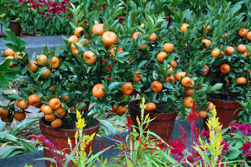20pcs/bag mini Orange Tree Seeds,dwarf orange tree,medicinal citrus,bonsai Sweet Fruit seeds plant for home & garden