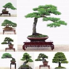 Hot selling 100pcs Japanese pine tree seeds, Pinus thunbergii seeds, bonsai seeds DIY home garden