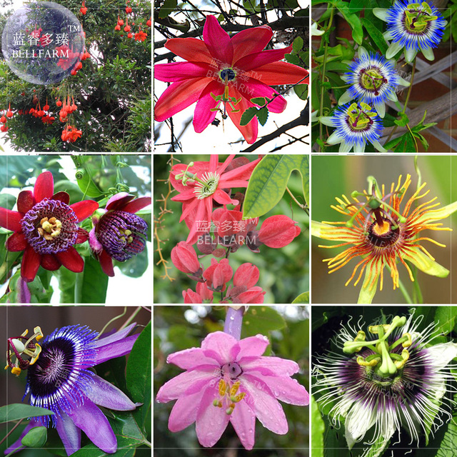 Aliexpress buy bellfarm bonsai mixed 9 types of passiflora bellfarm bonsai mixed 9 types of passiflora flowers big hanging flower red pink yellow blue flowers mightylinksfo