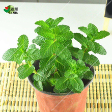 Mint Potted bonsai plants flower potted for home garden Mosquito proof can use Garnish