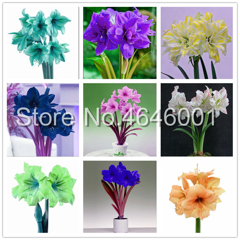 Big promotion!100 pcs / bag True Amaryllis Flower Not Bulbs Bonsai Flower Hippeastrum for Home & Garden Barbados Lily Flower Pot