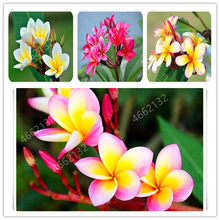 100 Pcs Belo Plumeria Frangipani Flor Bonsai Flor Estilo Chinês For Wedding Party Decoration Romântico(China)
