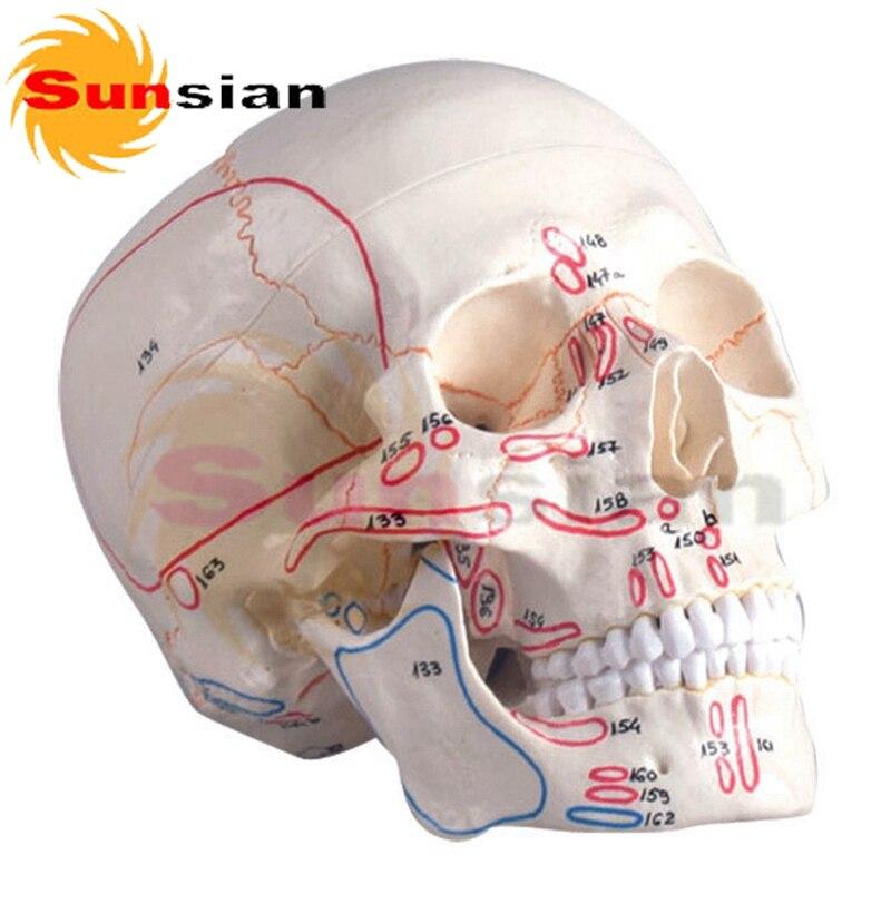 Modelo de cráneo, $ number partes, con el músculo marcado en Masaje ...