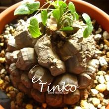 5pcs Geninue Dioscorea Elephantipes Seeds