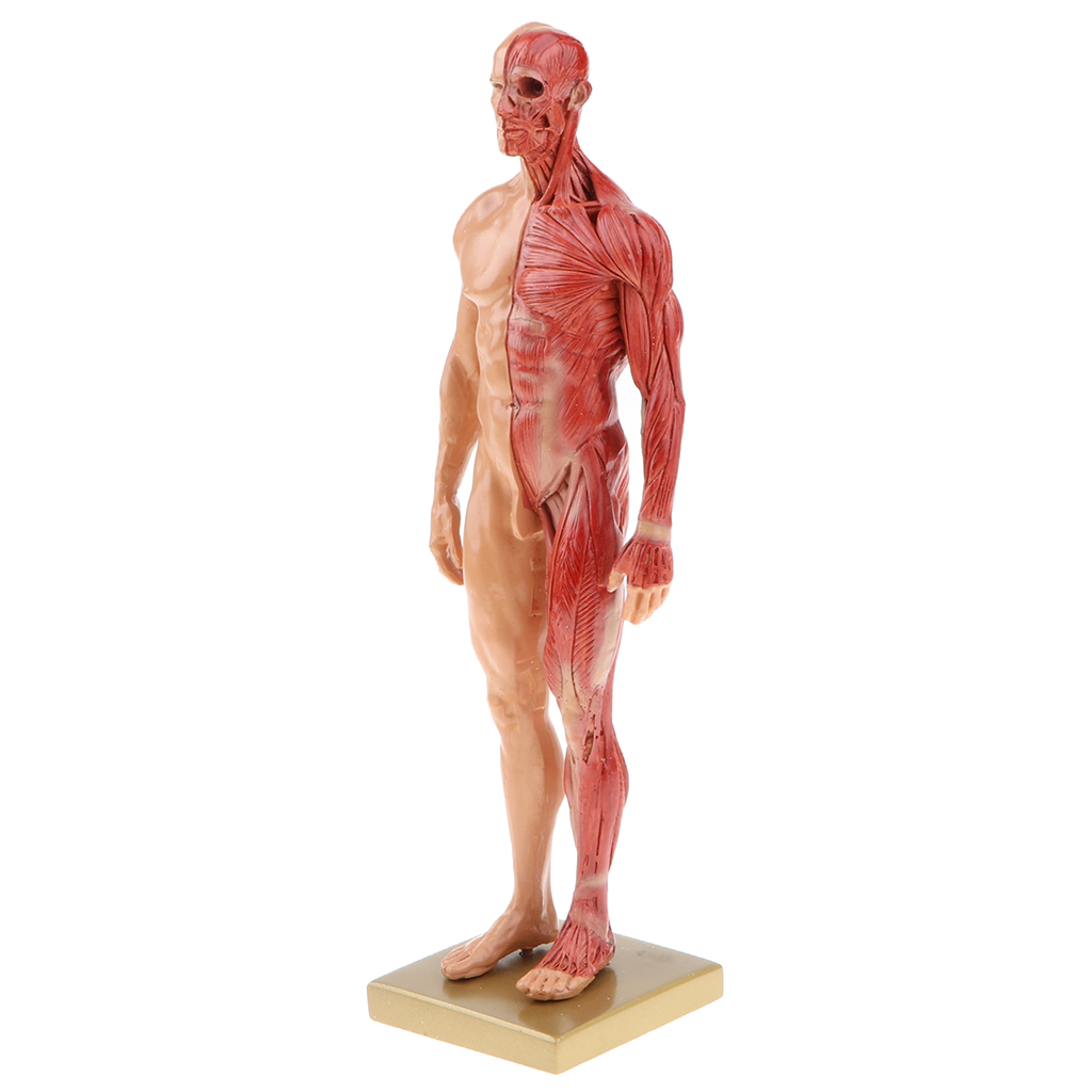 Buy anatomy figure and get free shipping on AliExpress.com