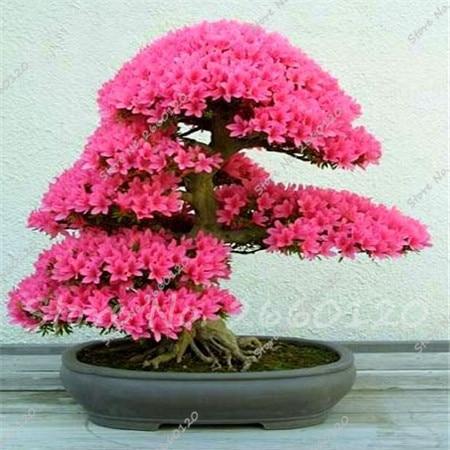 20 pz/borsa Giapponese Azalea Rhododendron Azalea Fiori Perenni Giardino Bonsai