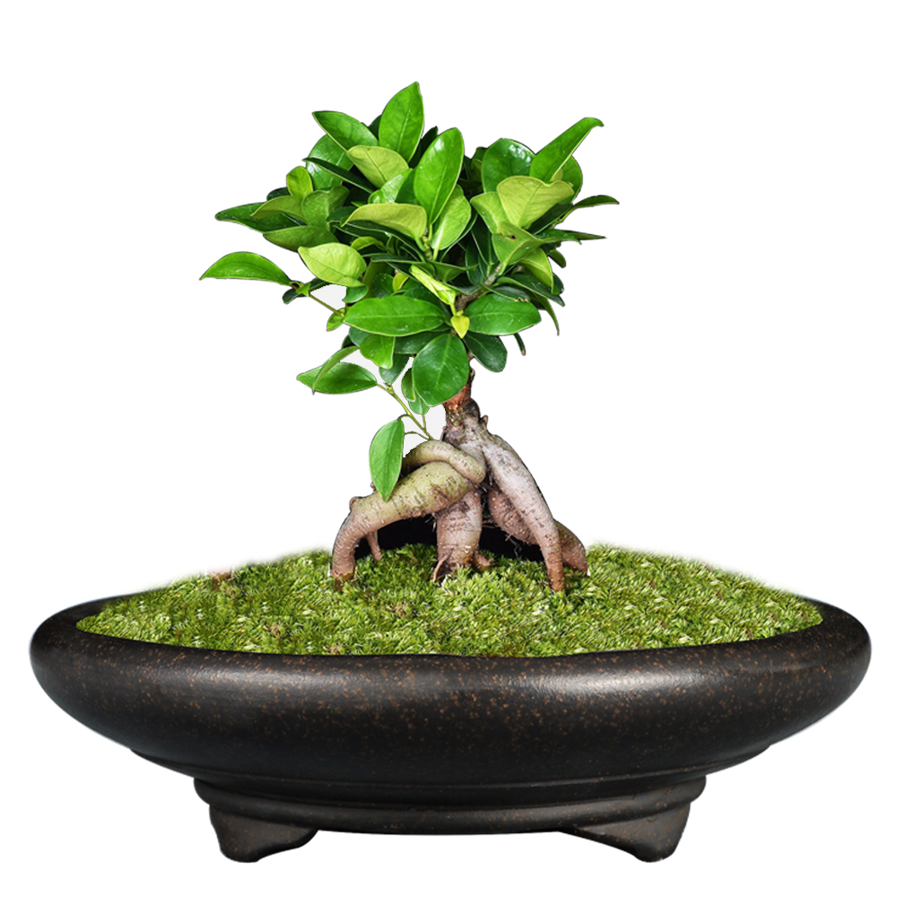 Top 10 Most Popular Pot Bonsai Ideas And Get Free Shipping