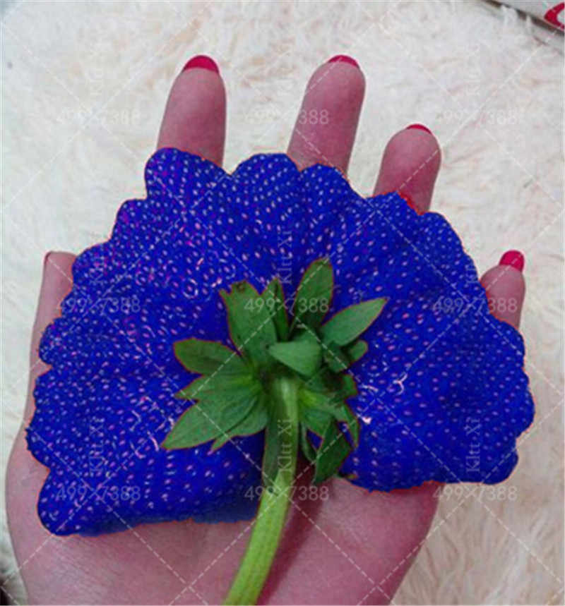500 Pcs Giant Blue Strawberry Organic bonsais, Giant Japan Strawberry bonsais Garden Succulent Seedsplants Free Shipping