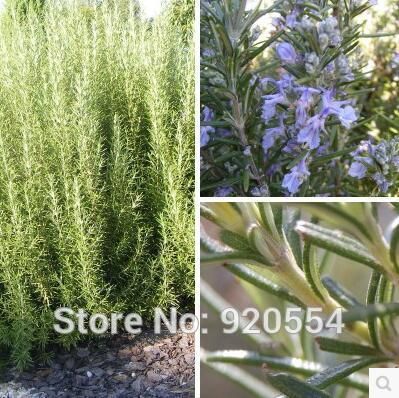 romarin bonsaï-achetez des lots à petit prix romarin