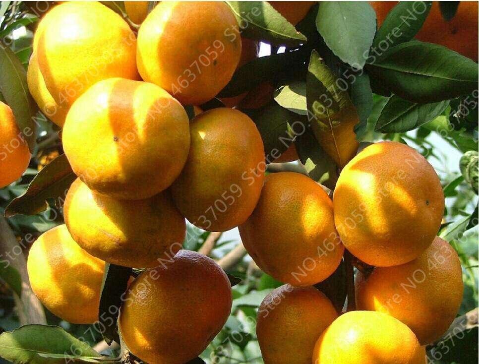 orange  (6)