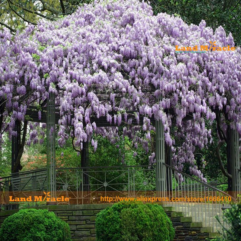 tipos gigante flor de las glicinias semillas de bonsai