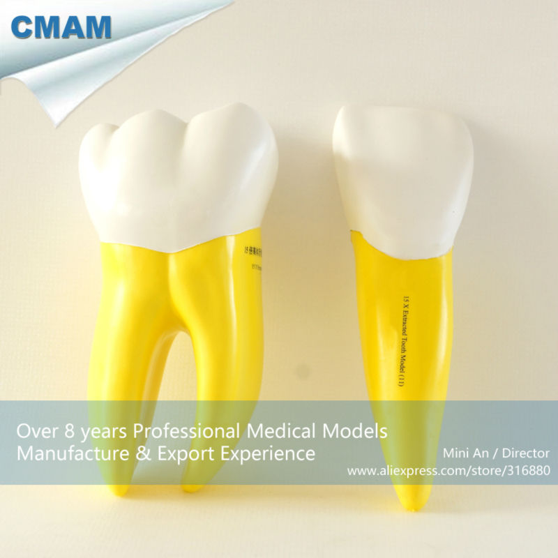 ФОТО CMAM-DH405 15 Times Enlarged Separated Soft Teeth Model for Demonstration