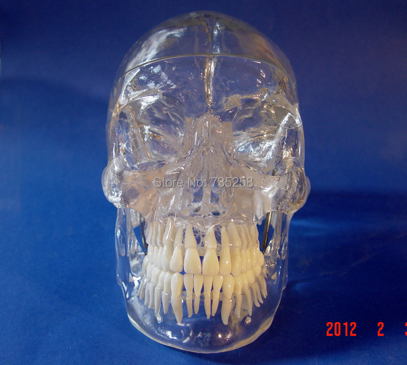 1 1 Simulation Skull With The Simulation Model of The Tooth Transparent Skull Model in Medical Science from Office School Supplies