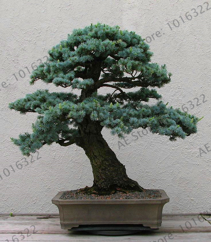 Bonsai Dynamic Hot Sale!10 Pcs Chinese Rare Evergreen Cedar Garden Bonsai Beautiful Indoor Decoration Natural Perennial Pine Authentic Deodara Home & Garden