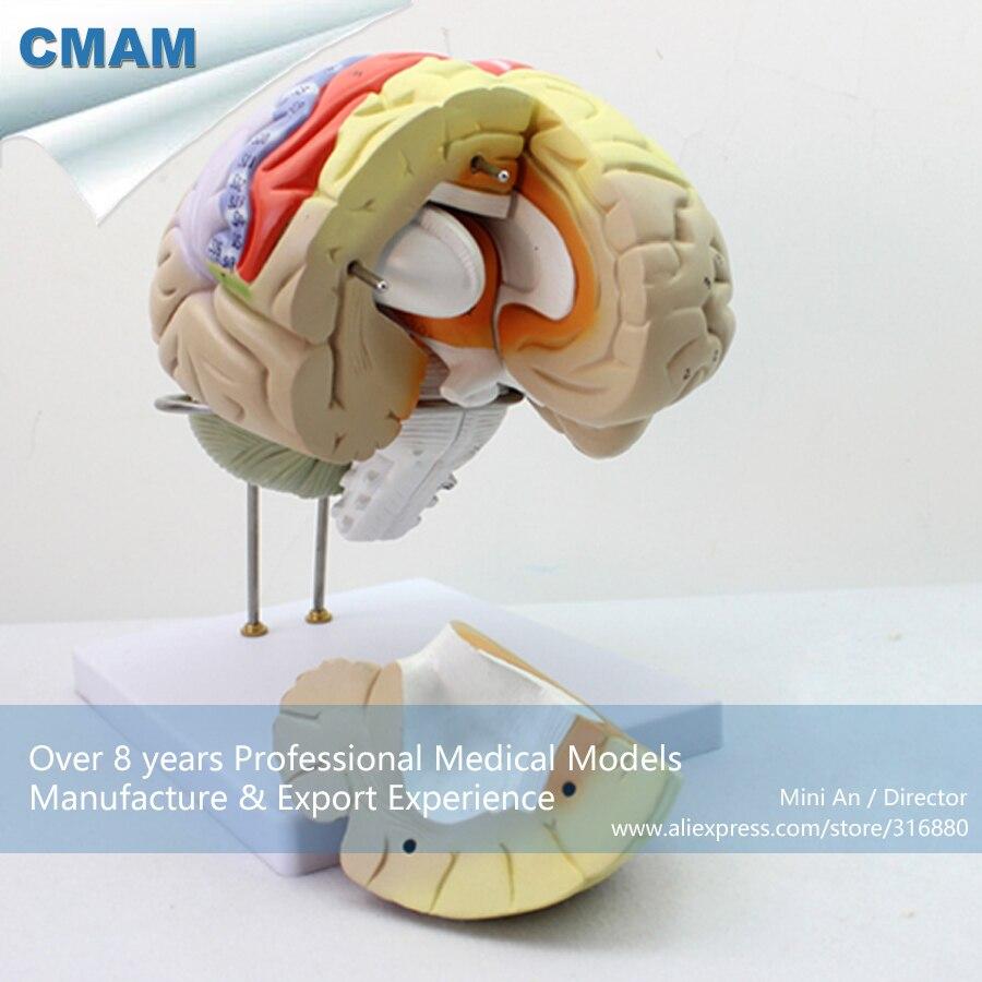 12406/CMAM-BRAIN08 Modello Anatomico Di Anteriore E Brainstem Staccabile Del Cervello, La Scienza Medica Educativi Modelli Anatomici12406/CMAM-BRAIN08 Modello Anatomico Di Anteriore E Brainstem Staccabile Del Cervello, La Scienza Medica Educativi Modelli Anatomici