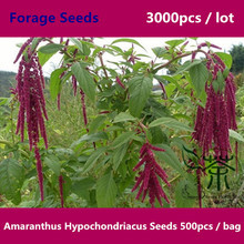 Zi Li Xian Amaranthus Hypochondriacus Seeds 3000pcs, Family Amaranthaceae Forage Seeds, Widely Cultivated Prince's Feather Seeds