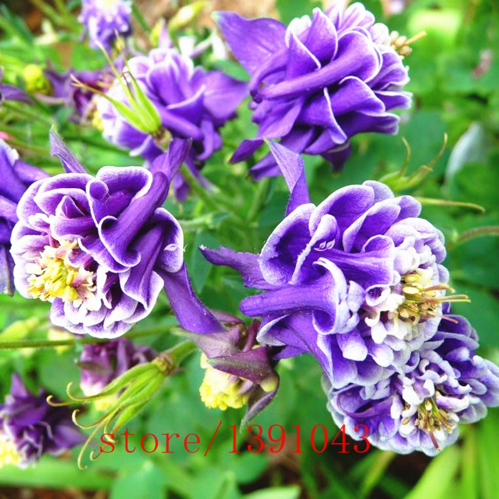 Aliexpress buy 50pcs mixed aquilegia double seeds aquilegia aliexpress buy 50pcs mixed aquilegia double seeds aquilegia columbine columbine flowers garden purple and whitefor home garden planting from izmirmasajfo