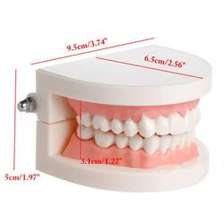 3 шт зубной протез модель десны Стандартный взрослые зубы манекен для медицинского обучения инструмент детский сад чистки преподавания
