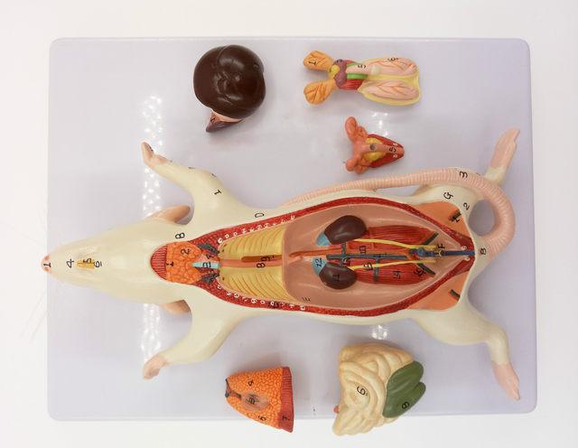 Tienda Online Montado Ratón Muestra Anatómica Modelo Oxyphylla ...