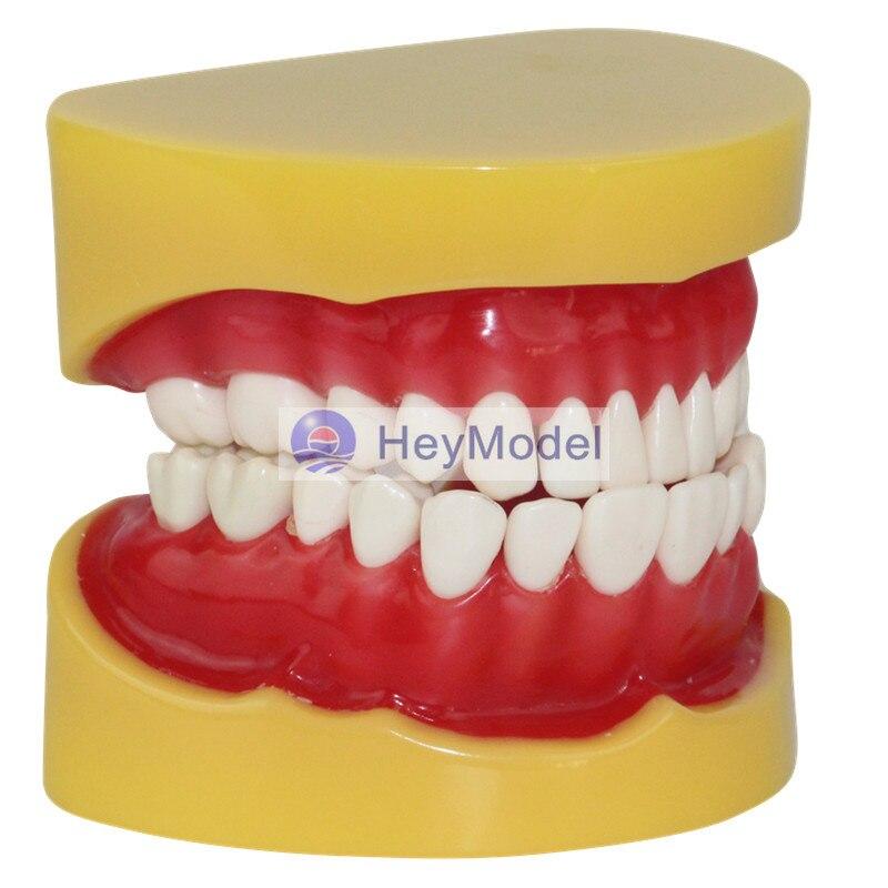 HeyModel Human Teeth extraction Model heymodel human teeth with pathology
