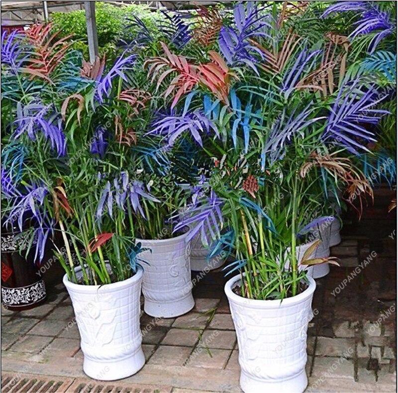 Frische Bambus Blau Pflanzen Hause Garten Pflanze Glück Bambus  Phyllostachys Aureosulcata Spectabilis Topfpflanze Pflanzen Bonsai 30  Stücke In Frische ...