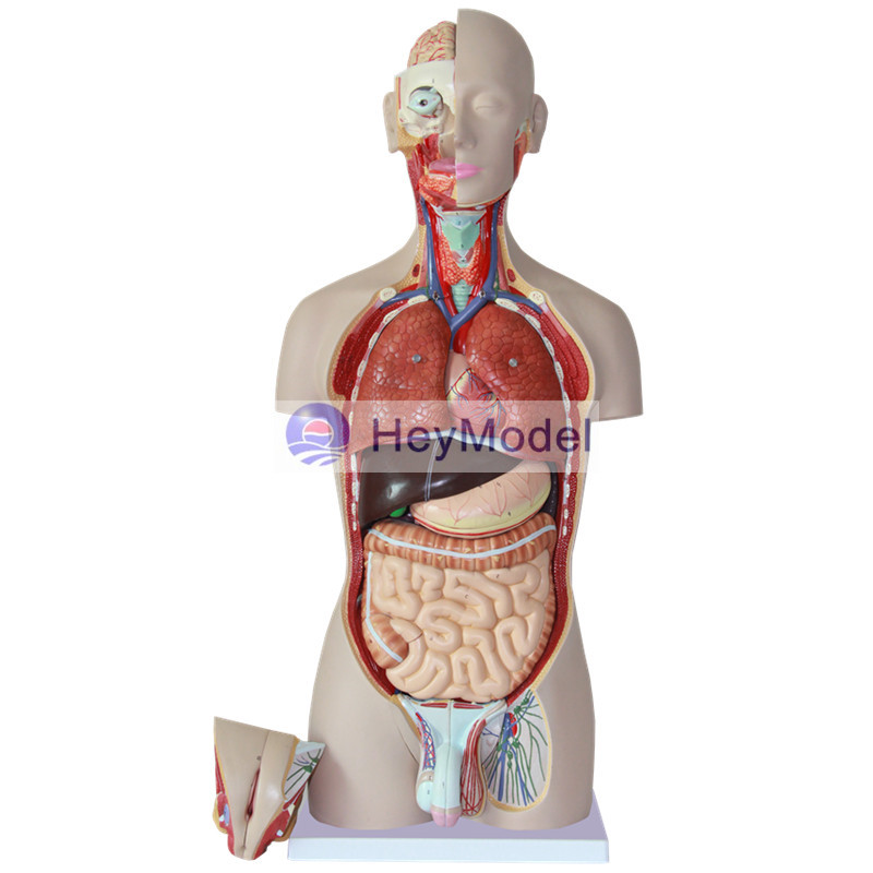 HeyModel 85cm human body torso model with 27 parts Display transparent torso with main neural and vascular structures model human torso model 53 points marked