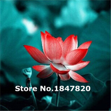 Rare lotus Seeds, 10kinds 5 Colors Flower Seeds, High survival Rate for Home and Garden.