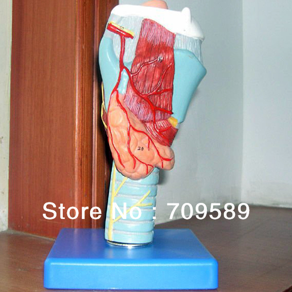 ISO Anatomical Larynx model, throat model