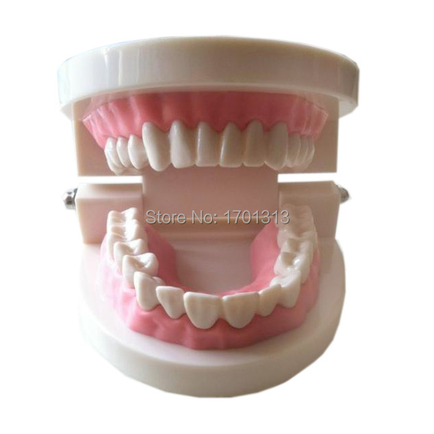 Medical teaching tool Teeth model dental model  Special decoration Clinic personalized decorative Figurines 1