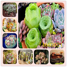 100 Pcs Spring Grass Plant Succulents plant Grass DIY bonsai Potted Garden Home Exotic Plant Spiral Grass Ornamental Bonsai(China)