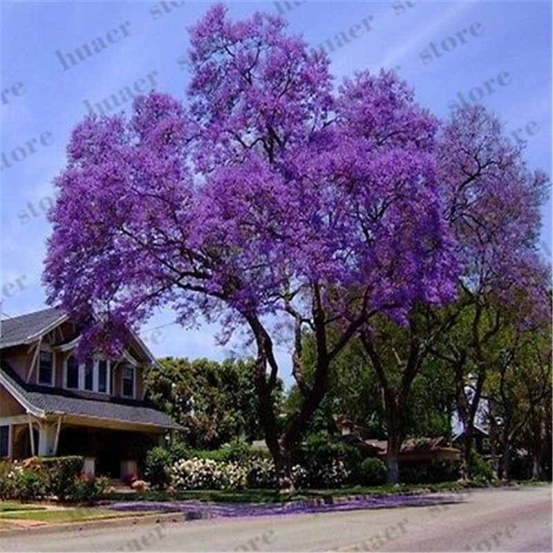 Image 2 - 200 pcs/ bonsai paulownia , Royal Empress Tree (Paulownia tomentosa), ourdoor plants flower home garden pot plants-in Bonsai from Home & Garden