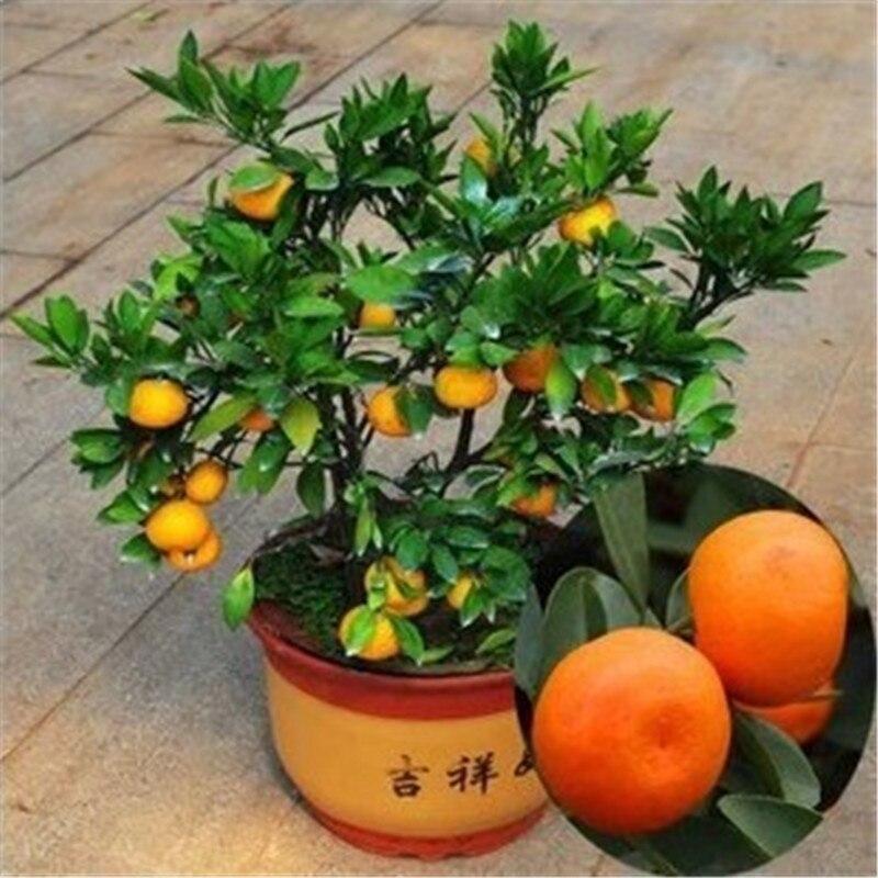 Mini Potted Fruit Seeds Bonsai Orange Seeds China Climbing Orange Tree Seed - 30 pcs / lot