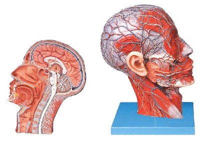 Head model sagittal section model Including the vascular nerve PVC material sagitally section model about tissue decomposition model for doctor patient communication model with magnetic