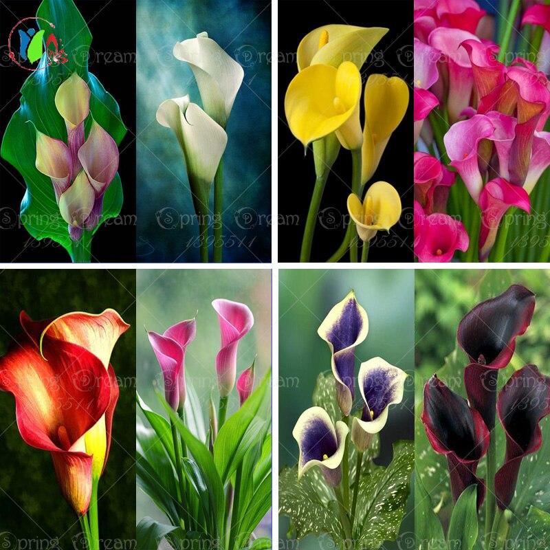 200 sementes de flores bonsai colorido semente de lírio de calla, plantas raras flores Casa jardinagem DIY flor sementes para casa jardim plantio