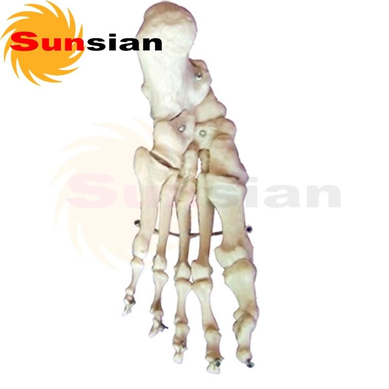 El modelo de hueso del pie, esqueleto humano modelo anatómico en ...