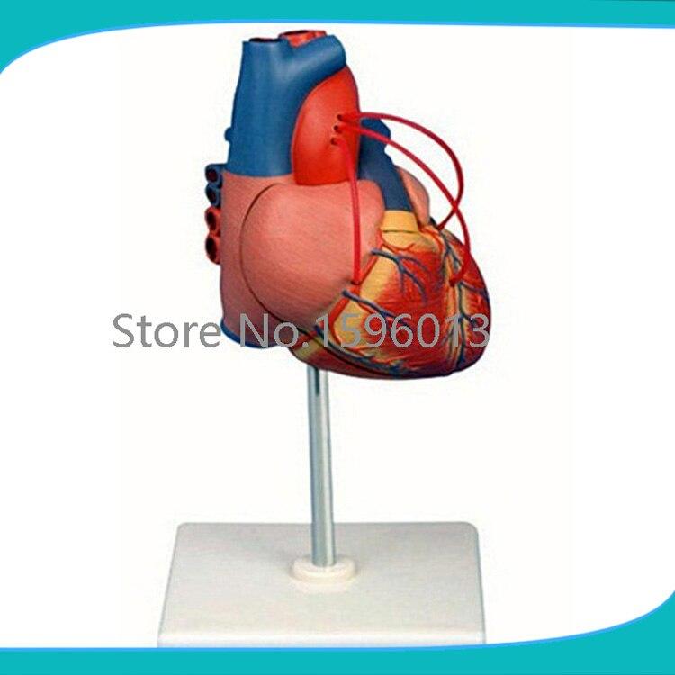 Human heart Bypass model,Heart bypass Surgery model