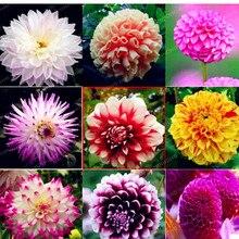 2 BulbTrue смешивание цветов луковицы георгина цветок бонсай цветок лампы символизирует мужество и удачу дома сад завод