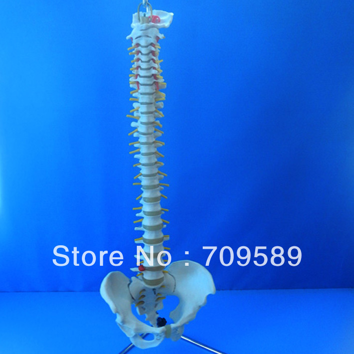 Lifetime Flexible Spine,Medical Teaching Human Spine Model