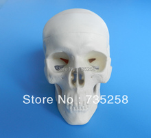 Miniature Plastic Skull ,Small Skull Model ,Delicate Skull Model