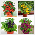Russian Banana fingerling potato seed Organic seeds vegetables fruit sweet healthy Kitchen cooking food garden plant 100pcs/bag