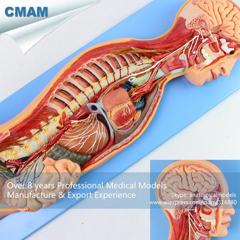 CMAM-BRAIN17 Human Sympathetic Nervous System Anatomical Model for Education cyruz tuppal quality management system for nursing education institutions