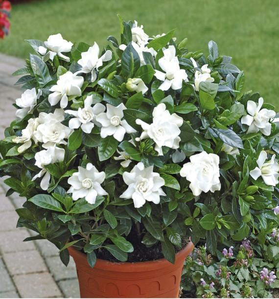 Image 4 - 2pcs/Bonsai Gardenia Jasminoides Flower Outdoor Fragrant Flowers White Cape  Bulb  Flore for Home Pot Planters-in Bonsai from Home & Garden