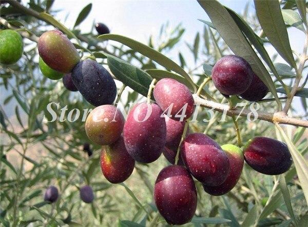 Olive_Tree_Seeds__Olea_Europaea