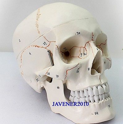 Human Anatomical Anatomy Asian Youth Head Skeleton Skull Medical Model mini skull human anatomical anatomy head medical model human anatomical skull model model of the medical skull painting model